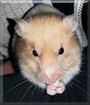 Cinnamon the Syrian Hamster