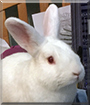 Edgar the Rabbit