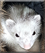 Nibbler the Ferret