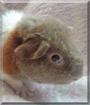 Fluffy the Teddy Guinea Pig