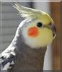 Coco the Cockatiel