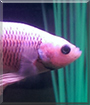 Galadriel the Halfmoon Betta Fish