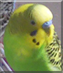 Jacob the Budgie