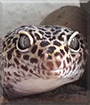 Jake the Leopard Gecko