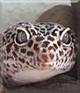 Jake the Leopard Gecko