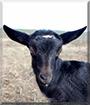 Black Sand the Alpine Goat