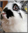 Domino the Lionhead Rabbit