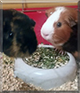 Max and Speedy the Guinea Pigs
