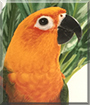 Prince the Jenday Conure Parrot
