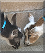 Snickers, Rolo the Nigerian Dwarf Goats