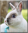 Teacup the Netherland Dwarf mix Rabbit