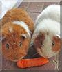 Pauli and Bärli the Guinea Pigs
