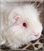 Kyubey the Texel Guinea Pig