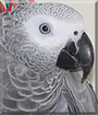 Nigel the Congo African Grey Parrot