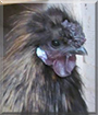 Dragon the Silkie Bantam Rooster