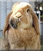 Linus the Lop Rabbit