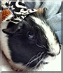 Squeakers the Guinea Pig