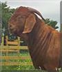 Moe the Boer Goat