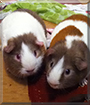 Lucky and Lenny the Guinea Pigs