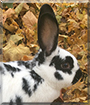 Faye the New Zealand White, Flemish Giant mix Rabbit