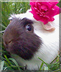 Angel the Guinea Pig