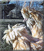 Victoria, Alaric the Polish Chickens