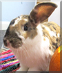 Lucky the Lop mix Rabbit