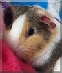 Kiwi the Guinea Pig