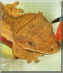 Butterscotch the Crested Gecko