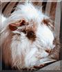 Buschel the Guinea Pig