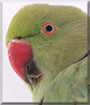 Leo the Indian Ringneck Parrot