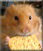 Frederick the Syrian Hamster