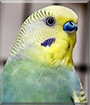 Caesar the Budgerigar