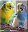 Polly, Wolke the Budgerigars