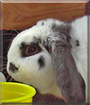 Oreo the Mini Lop Rabbit