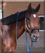 Earl the Zweibrücker Horse
