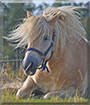 Jacco the Icelandic Horse