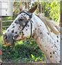Jack the Appaloosa Horse