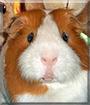Rupert the Short-Hair Guinea Pig (Cavy)