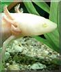 Otto the Axolotl