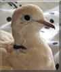 Svala the Ringneck Dove