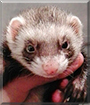 Cookie the Sable Ferret