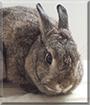 Cannelle the Dutch Rabbit