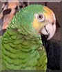 Salty the Yellow Shoulder Amazon Parrot