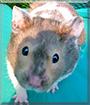 Fidget the Syrian Hamster