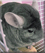 Theo the Chinchilla