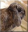 Molly the Lop Rabbit