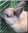 Bobby the Dwarf Rabbit