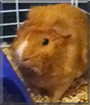 Oliver the Abyssinian Guinea Pig
