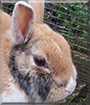 Jodie the Netherland Dwarf Rabbit